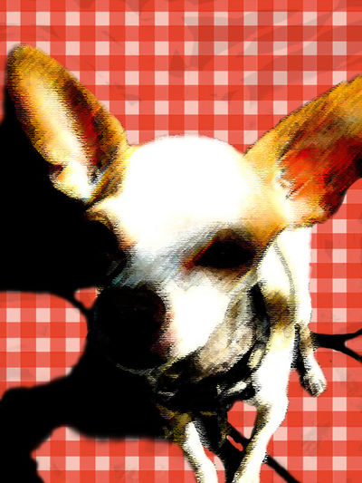 Checkered Chihuahua Chihuahua Chihuahua - Dog Chihuahua Love ♥ Dog