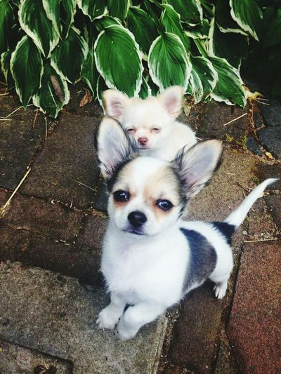 Puppy❤ I Love My Dog HERO Chihuahua the love of my life , darling i love you soooo much *-* ♡°°°°°