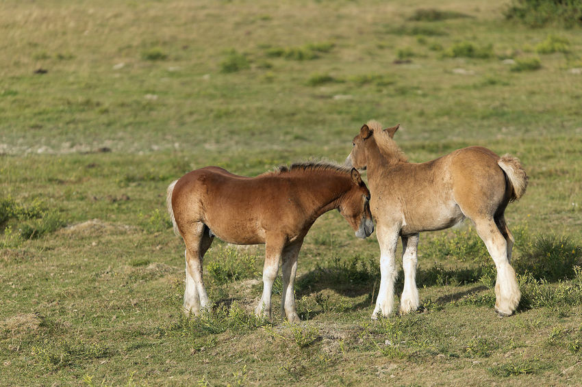Horses grazing in summer in Navarra, Spain. Grass Horses Mare Navarre SPAIN Animal Animal Themes Day Domestic Animals Field Full Length Grass Livestock Mammal Meadow Nature Navarra No People Outdoors Standing Togetherness Two Animals