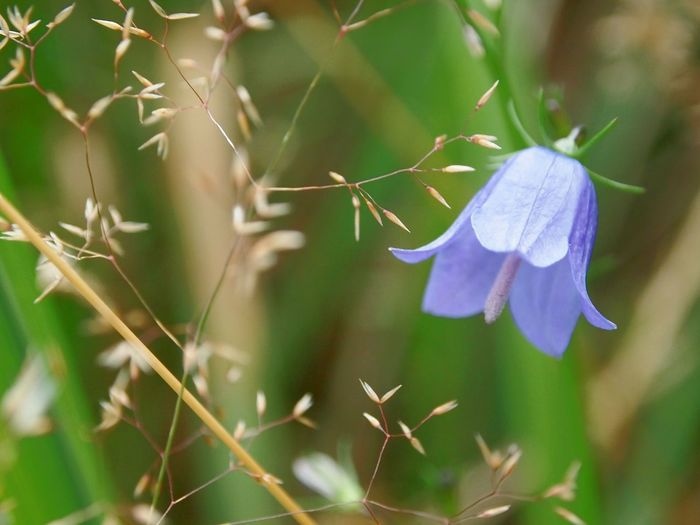 Flower Nature Plant Beauty In Nature No People Close-up Beauty Fragility Multi Colored Freshness Tranquility Scandinavia Selective Focus Growth Focus On Foreground Plant Grass Bluebell Harebell