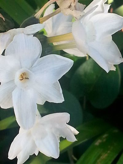 White Trio Beauty In Nature Blooming Close-up Day Flower Flower Head Fragility Freshness Growth Nature No People Outdoors Petal Plant White Color