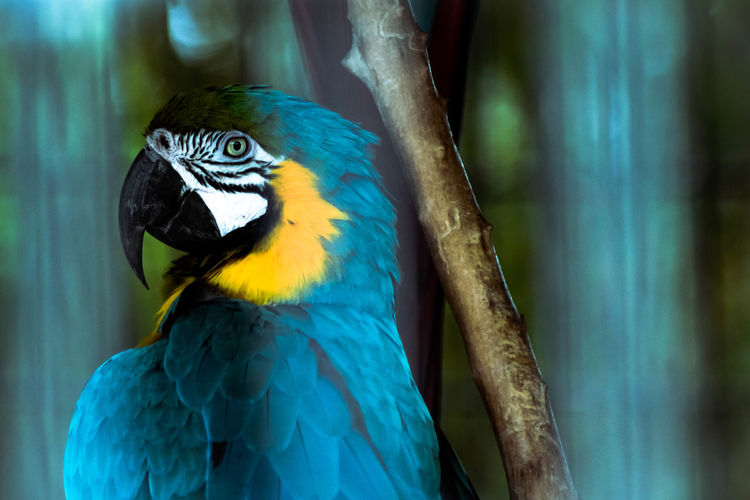 Beautiful blue Macaw Animal Themes Animal Wildlife Animals In The Wild Beak Beauty In Nature Bird Blue Close Up Close-up Closeup Day Feather  Focus Focus Object Focus On Foreground Gold And Blue Macaw Macaw Nature No People One Animal Outdoors Parrot Perching Zoo