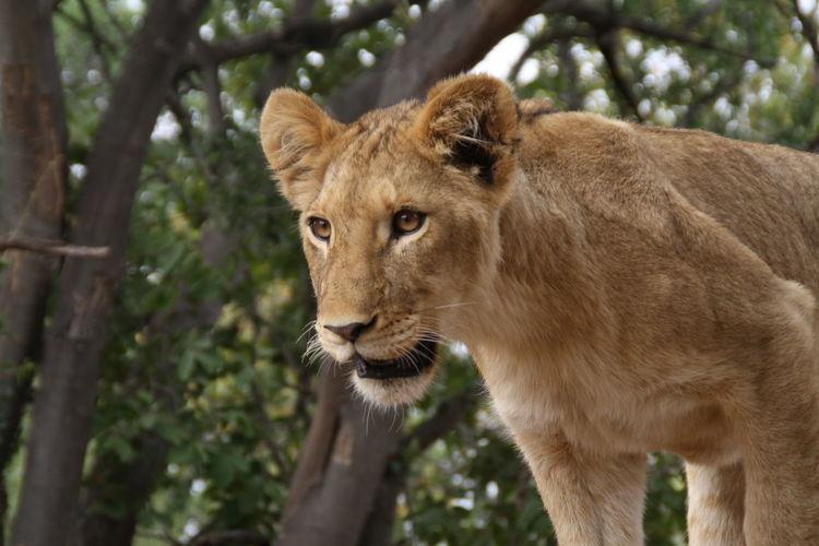GameDrive Lion