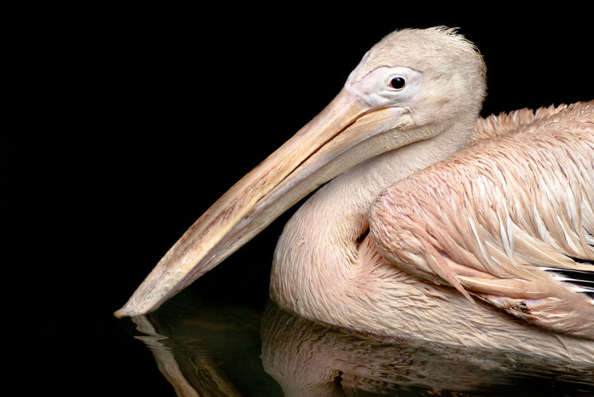 Portrait of a beautiful Rosy Pelican swimming in a lake Animals In The Wild Beuty In Nature Rosy Pelican Animal Photography Animal Themes Animal Wildlife Animals In The Wild Beak Beuty Of Nature Bird Black Black Background Close-up Day Nature No People One Animal Outdoors Pelican Pelican Birds Pelicano Pelicans Perching Rosy