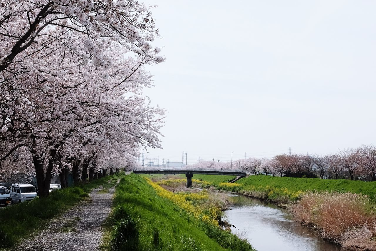 tree, nature, beauty in nature, grass, growth, no people, clear sky, scenics, day, outdoors, tranquility, flower, tranquil scene, the way forward, landscape, blossom, sky, branch, springtime, road, water, fragility, freshness