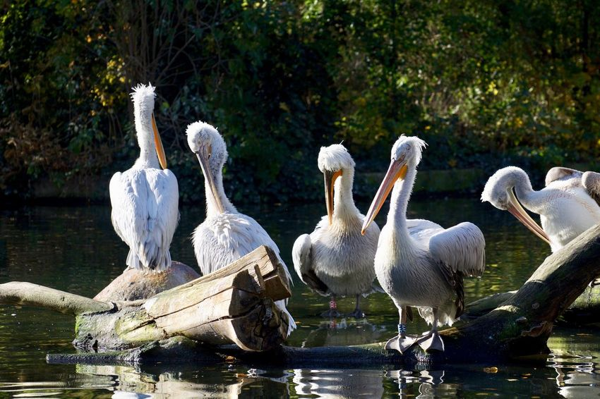 Animals In The Wild Animal Animal Family Animal Photography Animal Themes Animal Wildlife Animals Animals In The Wild Bird Cygnet Day Flock Of Birds Group Of Animals Lake Medium Group Of Animals Nature No People Swan Vertebrate Water Water Bird Waterfront White Color Young Animal