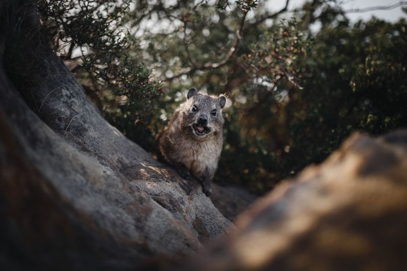 Portrait of rodent on rock