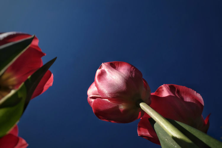 Close-up of red rose against blue sky