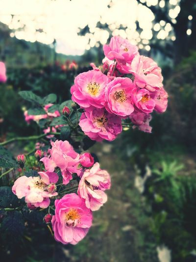 Flower Pink Color Flower Head Petal Freshness Close-up No People Beauty In Nature Nature Plant Blossom Outdoors Fragility Cameronhighlands Malaysia Bczozozo First Eyeem Photo
