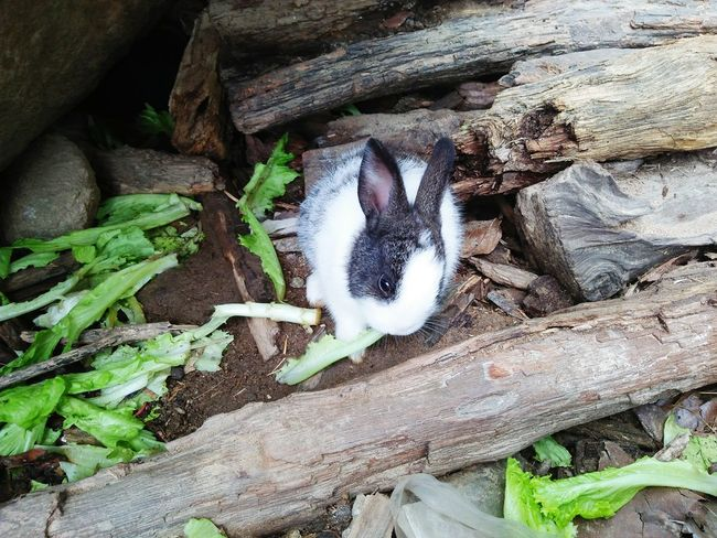 Let the vegetables and rabbit in nature No People Day High Angle View Outdoors Nature Wood - Material Leaf Close-up Animal Themes Nature Backgrounds Cluseup Rabbit Thailand Cute Rabbit ,bunny Rabbit Eye Animal Wildlife Zoo Animals  Animal Animal Eat Zoo Animal Eye Rabbit Pets Mammal One Animal