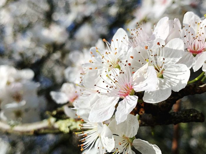 Flowering Plant Flower Fragility Freshness Vulnerability  Plant Petal Growth Beauty In Nature Flower Head White Color Inflorescence Close-up Pollen Blossom Springtime Focus On Foreground Stamen Day Tree Cherry Blossom No People Outdoors Cherry Tree Spring