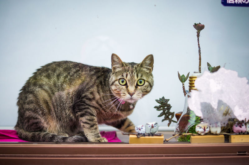 Portrait of tabby cat on table