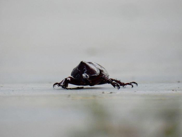 Oryctes Nasicornis Beetle Animal Nature Beauty In Nature