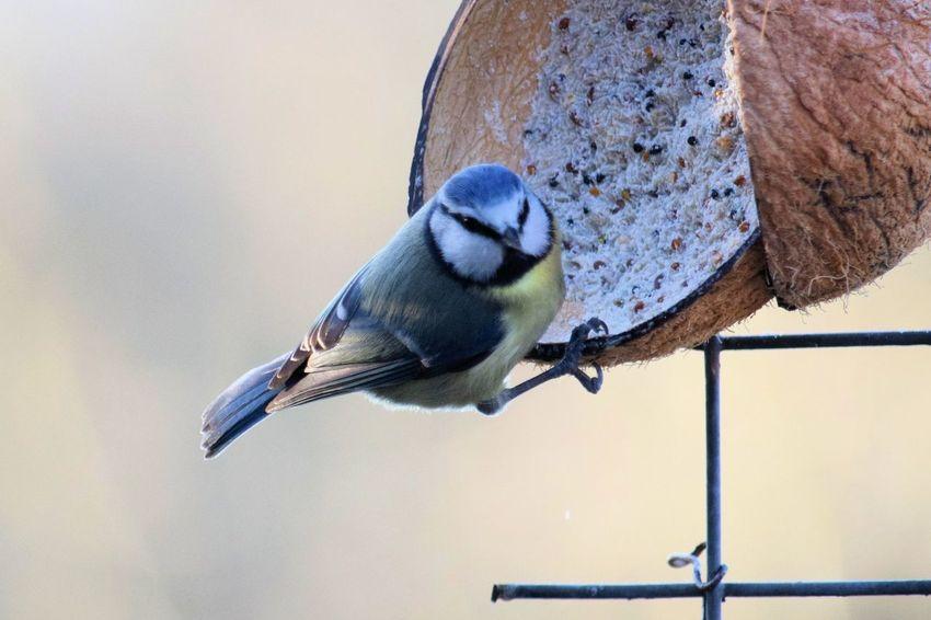 Animal Themes Bluetit Bluetit Feeding Day Nature No People One Animal Outdoors