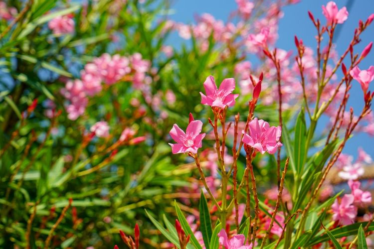 Flower Flowering Plant Plant Pink Color Beauty In Nature Freshness Growth Green Color Inflorescence Outdoors Botany Close-up Nature Petal Focus On Foreground No People Flower Head Day Fragility