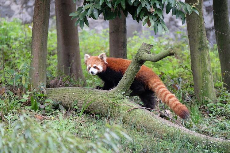 Red panda on fallen tree in forest