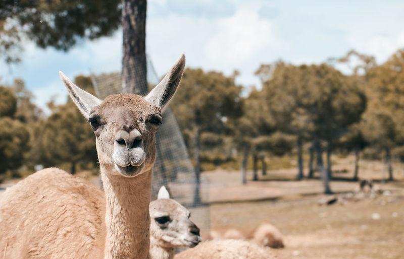 Animal lama looking at camera and laughing