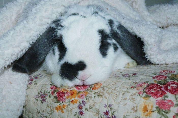 Pet Portraits Cozy Cute Bunny  No People Animal Bunny  Close-up The Week On EyeEm