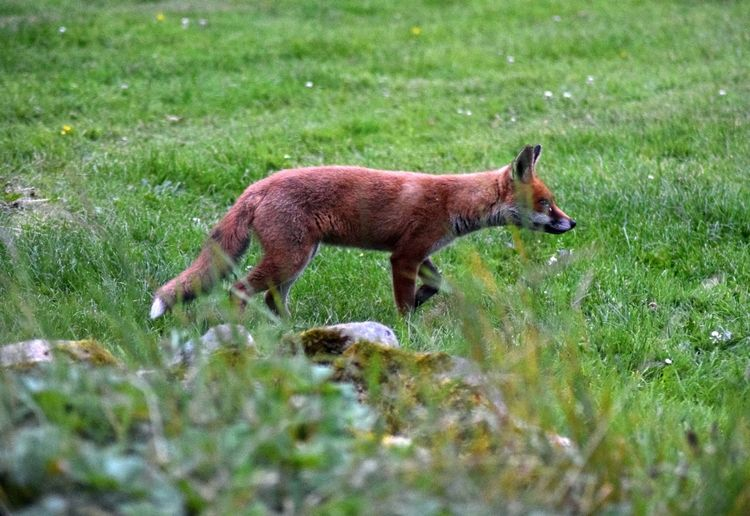 Fox🐺 Having A Walk Vixen Wales Wales UK Wild Animal Wildlife & Nature Wildlife Photography Evening Fantastic Mrs Fox Female Female Fox Fox Foxy Foxy Lady Foxylady Friendly Fox Girl Red Fox Sniffing Wales❤ Wildlife Yearling