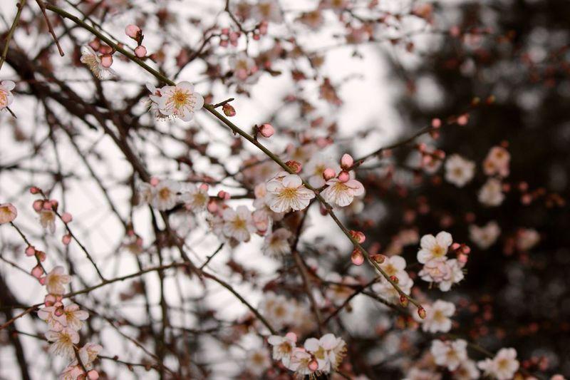 Japanese Plum Blossom Ume Blossom EyeEm Flower Flower Flowering Plant Plant Tree Freshness Beauty In Nature Fragility Blossom Branch Cherry Blossom Day Vulnerability