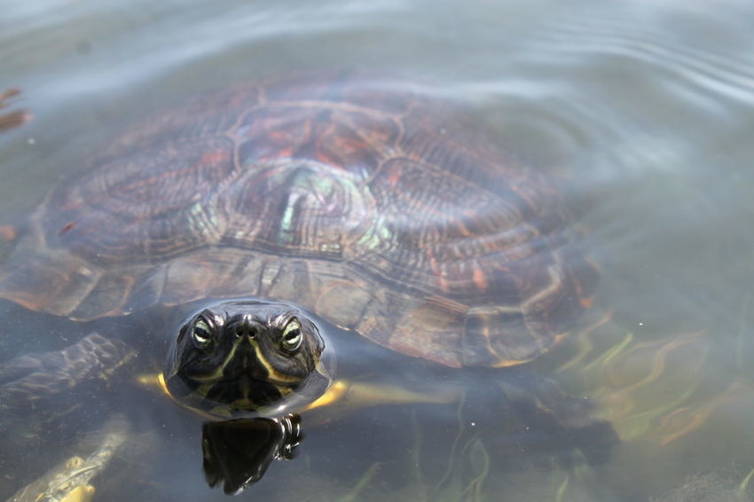 Animal Animal Body Part Animal Head  Animal Themes Beauty In Nature Close-up Day Focus On Foreground Lake Nature No People Outdoors Reflection Rippled Turtle Water Water Surface Wildlife