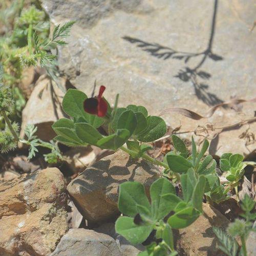 Tunisia IgersTunisia Wikilovesearth Wikimediatn Flower صباح الأزهار :) الوردة هاذي فريدة متفردة ... نلقاها في جبل زغوان أما على قد ما درنا ما ريتش وحدة أخرى كيفها :)