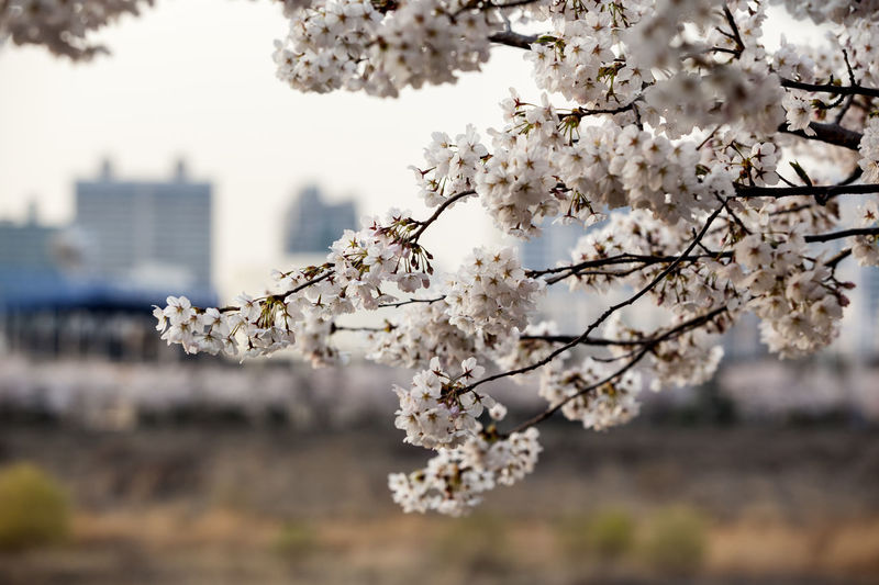 Anyangcheon Apple Tree Beauty In Nature Blooming Blossom Branch Cherry Blossom Cherry Tree Close-up Flower Focus On Foreground Fragility Freshness Growth In Bloom Nature Petal Spring Time Springtime Tree Twig White Color