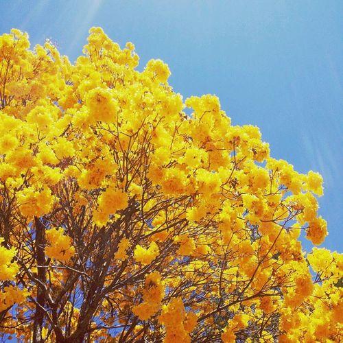 Inverno (?) Ipê Igers_minasgerais Sky Flower