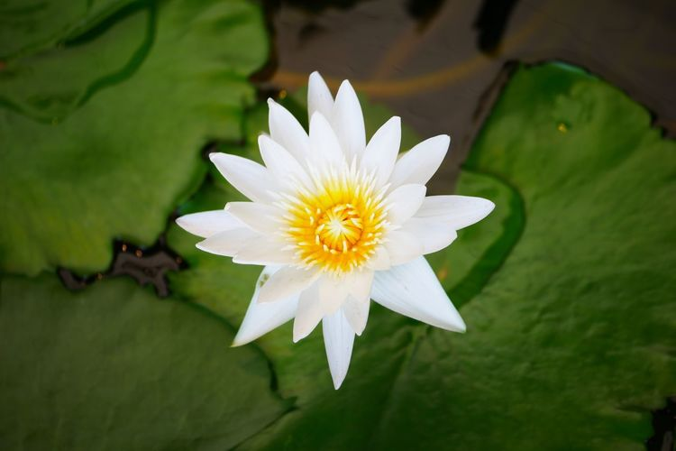 Directly above shot of lotus water lily blooming in pond