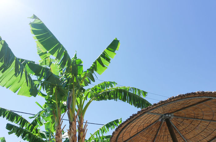 Hot Day Pool Time Sunlight Tropical Paradise Banana Tree Beach Clear Sky Day Freshness Green Color Leaf Low Angle View Nature No People Outdoors Sky Sunbathing Umbrella