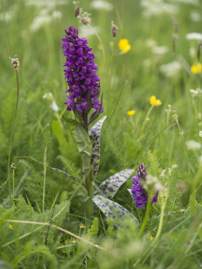 Dactylorhiza Erzgebirge Mountain Meadow Orchid Orchid Blossoms Altenberg Beauty In Nature Blossom Countryside Field Flower Flower Head Flowering Plant Germany Knabenkraut Meadow Natur Nature No People Osterzgebirge Outdoors Plant Purple Springtime