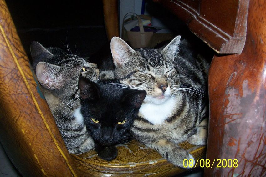 Animals Animals Posing Cat Cats Domestic Animals Domestic Cat Family Feline Mammal No People Pets Whisker