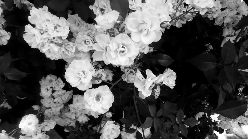 Beauty In Nature Black And White Blackandwhite Bouquet Bunch Of Flowers Close-up Day Flower Flower Arrangement Flower Head Flowering Plant Fragility Freshness Growth High Angle View Inflorescence Monochrome Nature No People Outdoors Petal Plant Rosé Vulnerability  White Color