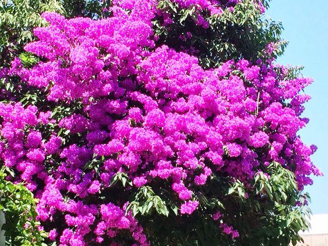 Begonvil Büyükada Prinkipo Flower