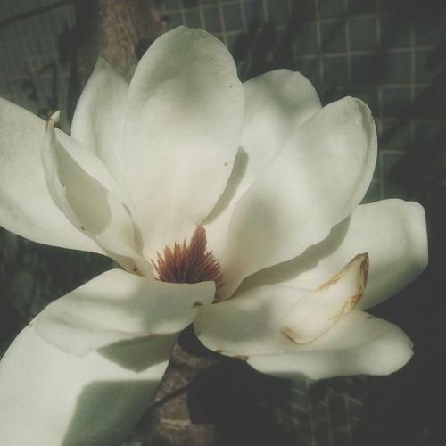 ハクモクレンが咲いたよ🎵 Flower Head Flower Petal Softness Uncultivated Close-up Plant