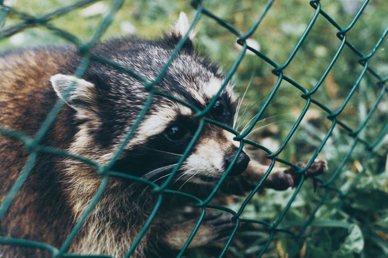 Zoo Grass Cute Chainlink Fence One Animal Animal Themes Cage Mammal Day Domestic Animals Outdoors Pets No People Close-up Nature