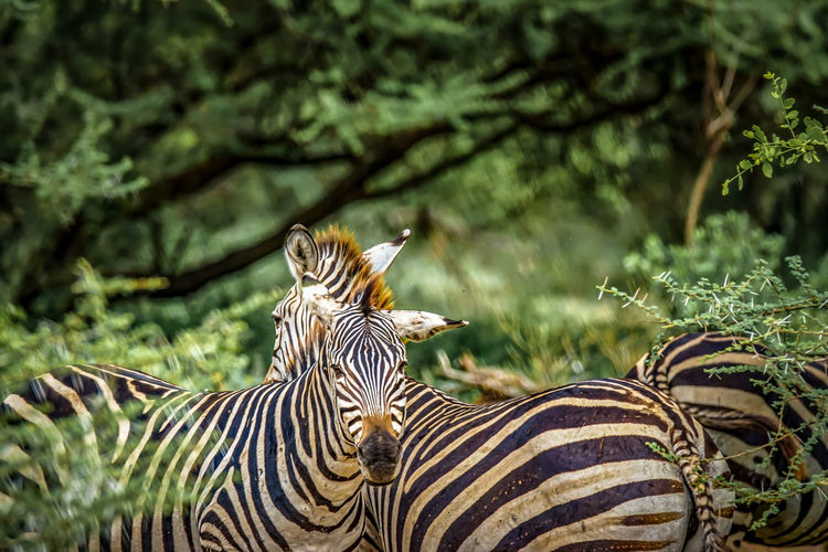 Zebras in a forest