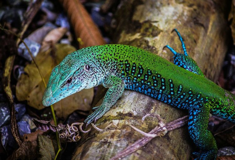 Lizzard Animal Animal Themes Animals In The Wild Wildlife Nature Reptile Photography Reptile Reptile Insect Close-up Green Color Iguana Lizard Exotic Pets Gecko Animal Skin Animal Scale Animal Markings