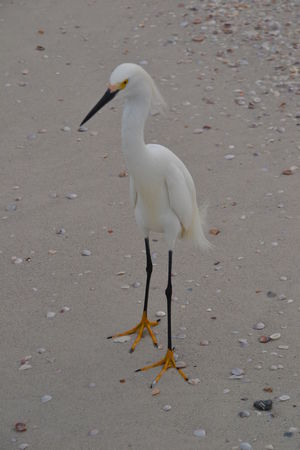 Animal Avian Bird Black Legs Close-up Day Focus On Foreground Nature No People Outdoors Sand Seashells White White Color Yellow Feet