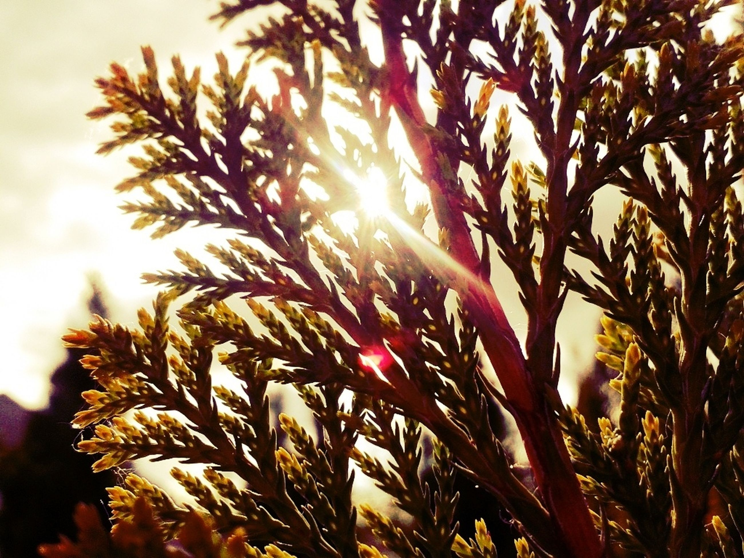 growth, low angle view, leaf, nature, tree, sun, beauty in nature, sunlight, branch, sky, palm tree, tranquility, plant, outdoors, close-up, sunset, lens flare, no people, day, silhouette