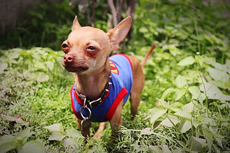 Pet mood First Eyeem Photo Chihuahua Chihuahua Puppy Mood Toychiuaua Doglover Hemakesmehappy Mypet