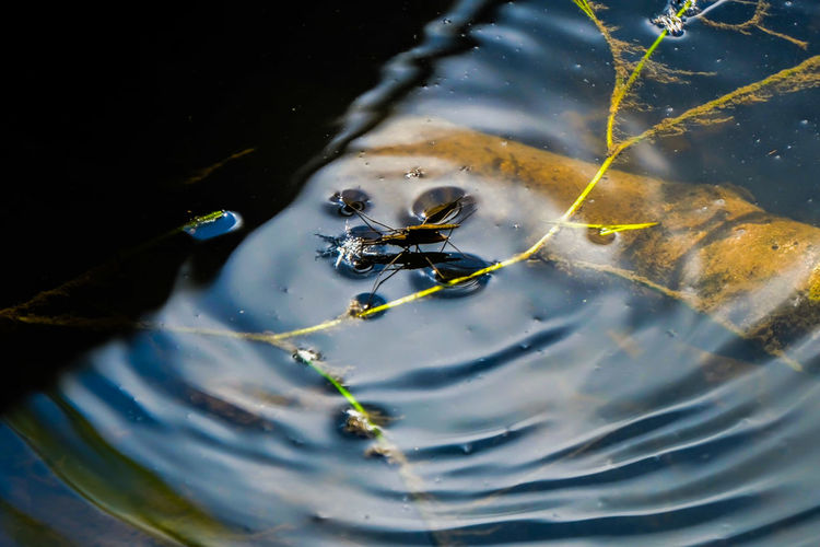High angle view of pond skater in water