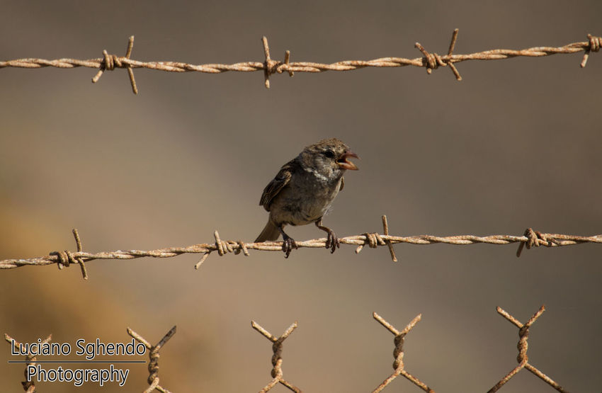 Animal Themes Animal Wildlife Animals In The Wild Barbed Wire Bird Close-up No People One Animal Outdoors