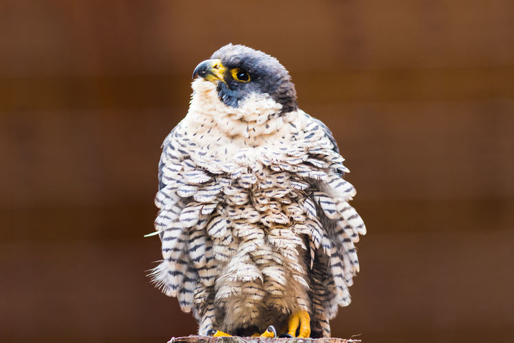 Animal Themes One Animal Animal Bird Bird Of Prey Vertebrate Animal Wildlife Animals In The Wild Owl Focus On Foreground No People Day Portrait Perching Close-up Looking At Camera Outdoors Wood - Material Looking Eagle Falcon - Bird