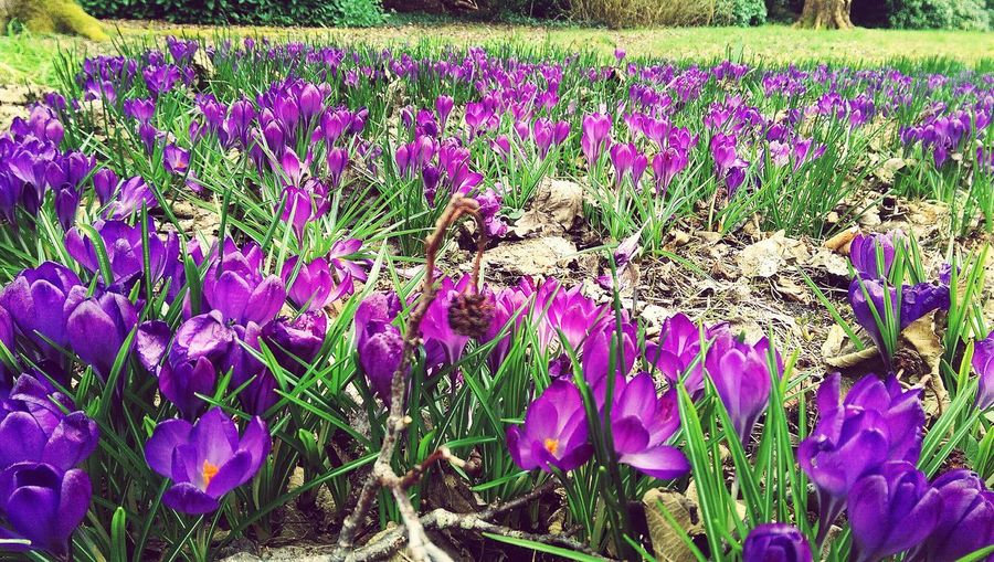 Crocus Purple Flower Beauty In Nature Nature Plant No People Blooming Outdoors Day Freshness Purple Flower Purplecolour