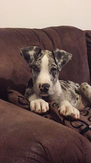 Great Dane Great Dane Puppy Eyes Green And Blue Pets Dog Indoors