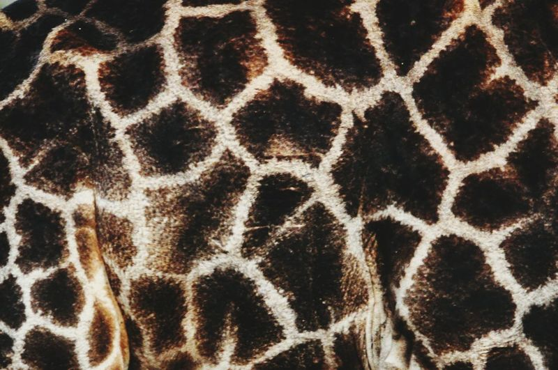 Giraffe Fur Pattern, Texture, Shape And Form Pattern Patterns In Nature African Beauty Africa Mammals Wildanimals Natural Natural Pattern Skin