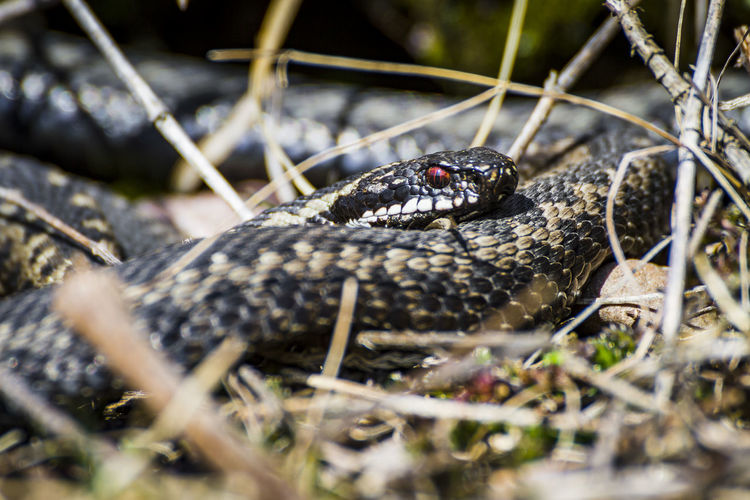 Adders relax Animal Animal Scale Animal Themes Animal Wildlife Animals In The Wild Black Color Close-up Day Field Insect Invertebrate Land Nature No People One Animal Outdoors Plant Reptile Selective Focus Vertebrate Zoology