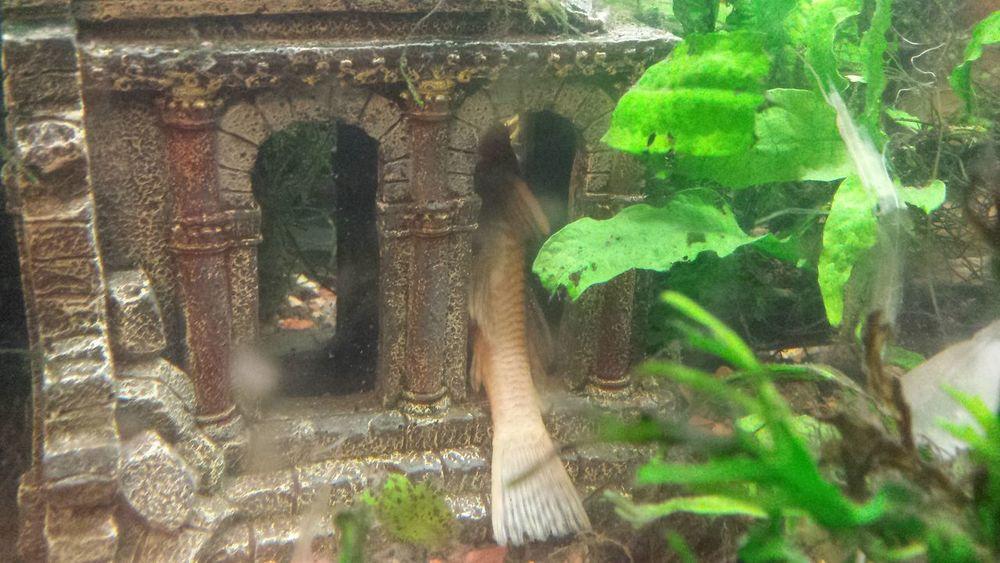 albino bristlenose plecostamus hiding. Albino Bristlenose Bushynose Pleco Aquarium Hideaway Ruins Castle Jave Fern Water Tropical Fish Leaf Plant Day No People