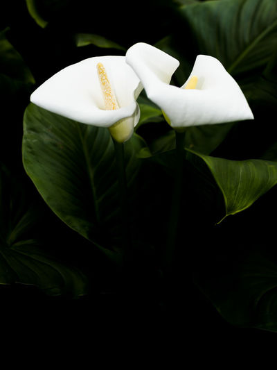 Two callas in dark. Two callas with leaves vertical image and black copy space below. Calla Lily Callas Beauty In Nature Blooming Calla Close-up Day Flower Flower Head Fragility Freshness Growth Leaf Nature No People Outdoors Petal Plant White Color